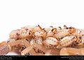 Striped Bark Scorpion (Buthidae, Centruroides vittatus (Say)) (36072005454).jpg