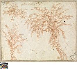 Studies van een palmboom
