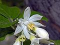 Styracaceae - Styrax officinalis.JPG
