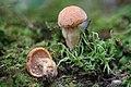 Suillus hirtellus (Peck) Snell 651545.jpg
