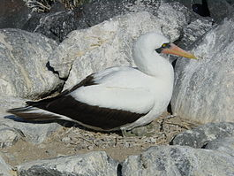 Sula granti on nest Galapagos.jpg