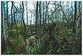 Sumpfgebiet im Naturschutzgebiet Kuhlrader Moor und Röggeliner See.jpg