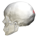 Superior angle of the occipital bone06.png