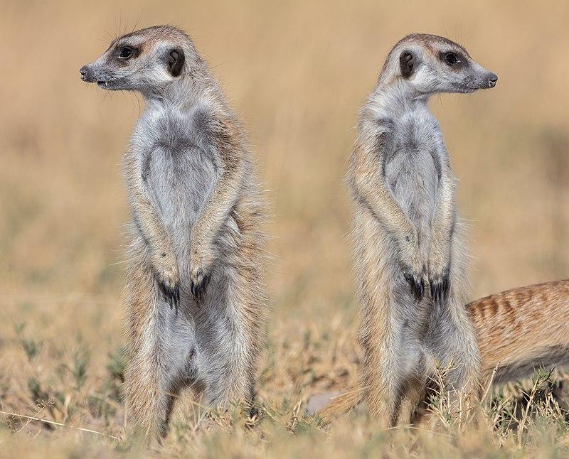 Suricatos (Suricata suricatta), parque nacional Makgadikgadi Pans, Botsuana, 2018-07-30, DD 25.jpg