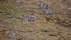 Svalbard reindeers (Rangifer tarandus platyrhynchus) in the Tundra of Reinsdyrflya.jpg