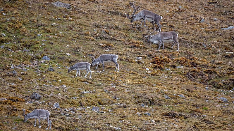 File:Svalbard reindeers (Rangifer tarandus platyrhynchus) in the Tundra of Reinsdyrflya.jpg