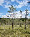 Swamp in Finland.jpg