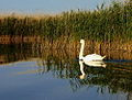 Swan on Lake Velencei.jpg