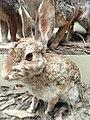 Sylvilagus audubonii vallicola - Pacific Grove Museum of Natural History - DSC06649.JPG