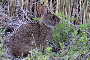 Sanibel, Florida - Marsh rabbits are common in Sanibel