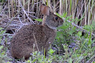 Sanibel, Florida - Marsh rabbits are common in Sanibel