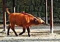 Syncerus caffer nanus Dvur zoo 5.jpg