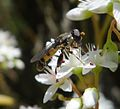Syritta pipiens Xylotini - Flickr - gailhampshire.jpg