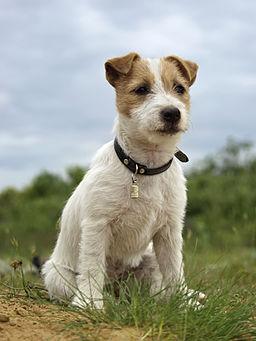 Szczenie Jack Russell Terrier2