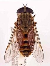 a horse fly tabanus eggeri france