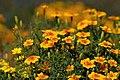 Tagetes tenuifolia 5 (aka).jpg