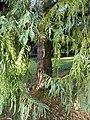 Taiwania cryptomerioides Lucca 02.jpg