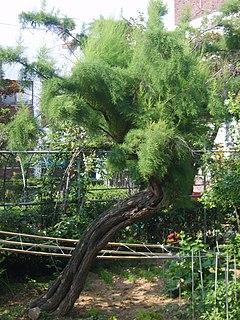 <i>Tamarix chinensis</i> species of plant