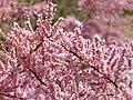 Tamarix gallica flores ArgamasillaCalatrava.jpg