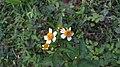 Tanaman liar bunga.jpg