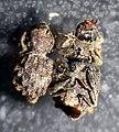 Tarphius floresensis.jpg