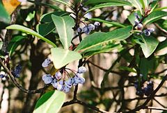 Tasmannia purpurascens April 2002.jpg