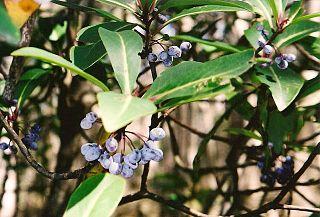 <i>Tasmannia purpurascens</i> species of plant