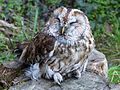 Tawny Owl - Flickr - gailhampshire.jpg