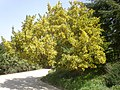 Teline osmariensis 2a.jpg
