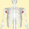 Teres minor muscle frontal2.png