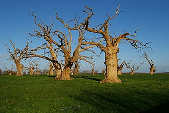Mundon - Dead oak trees behind St Mary's Church at Mundon Hall Farm