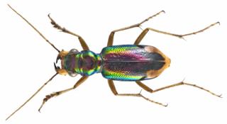Megacephalini Tribe of beetles