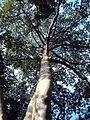 Tetrameles nudiflora tree.jpg