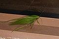 Tettigoniidae sp. (26150300447).jpg