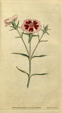 Illustration der Chinesischen Nelke (Dianthus chinensis)
