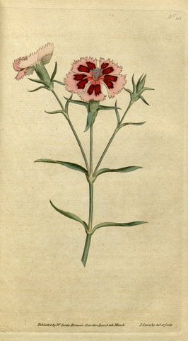 The Botanical Magazine, plaat 25 (Volume 1, 1787)