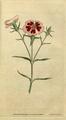 The Botanical Magazine, Plate 25 (Volume 1, 1787).png