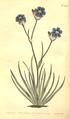 The Botanical Magazine, Plate 458 (Volume 13, 1799).png