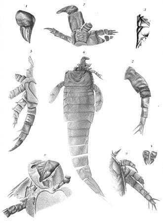Hugh Miller - Fossils of Hughmilleria socialis