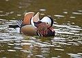 The Mandarin Duck of St. Ferdinand Park (31896237408).jpg