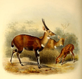 The book of antelopes (1894) Tragelaphus scriptus.png