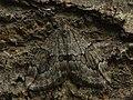 Thera juniperata - Juniper carpet - Ларенция можжевеловая (40959242511).jpg