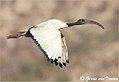 Threskiornis aethiopicus00.jpg