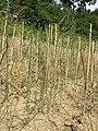 Thymelaea passerina sl67.jpg