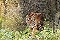Tiger (64518339).jpg