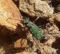 Tiger Beetle. Cicindela campestris. Carabidae - Flickr - gailhampshire.jpg