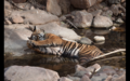 Tiger in Ranthambore 10.png