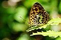 Timelaea albescens formosana 20140719.jpg