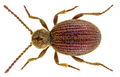 Tipnus unicolor (Piller & Mitterpacher, 1783) (31090431640).png