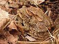Toads keichwa 03.jpg